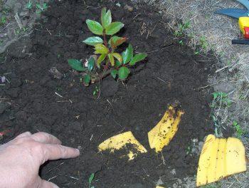 Зачем рассаде бананы? Подкормка банановым настоем