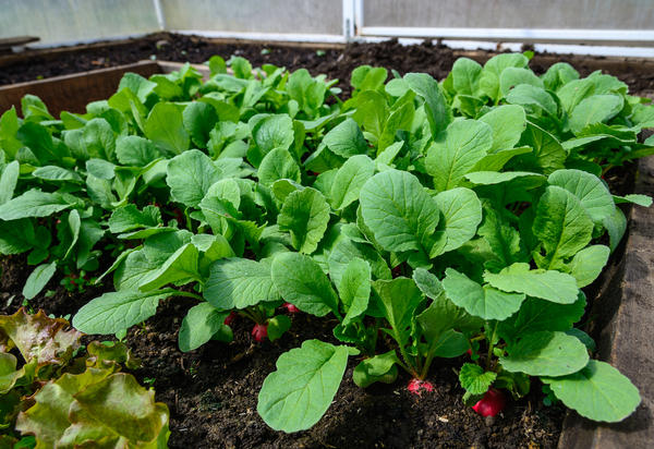 Три способа выращивания редиса, выбирайте на свой вкус