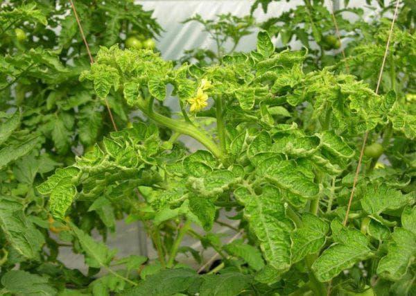 Почему курчавятся листья помидоров