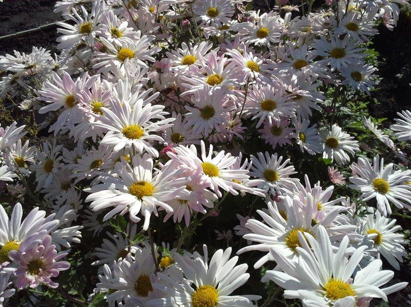 Садова Хризантема. Як садити, поливати, та доглядати