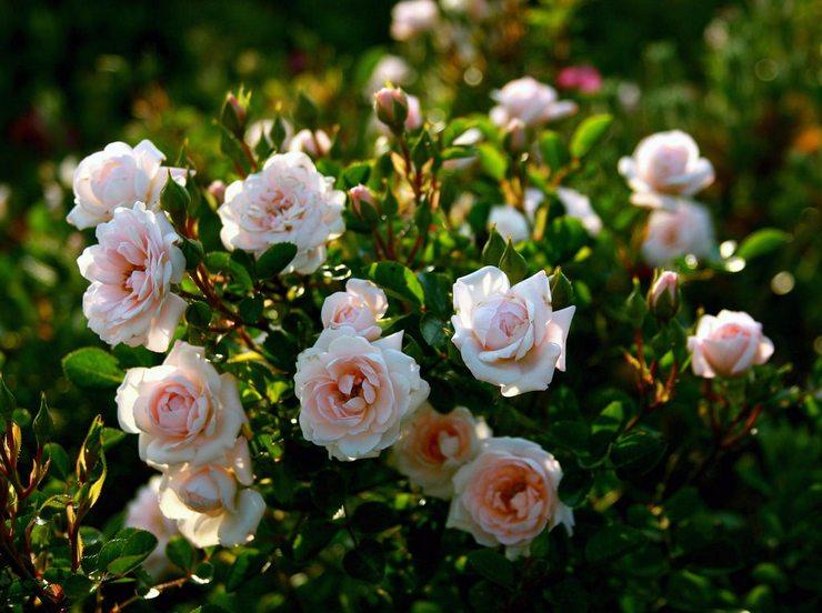 Кілька порад, як виростити гарні троянди