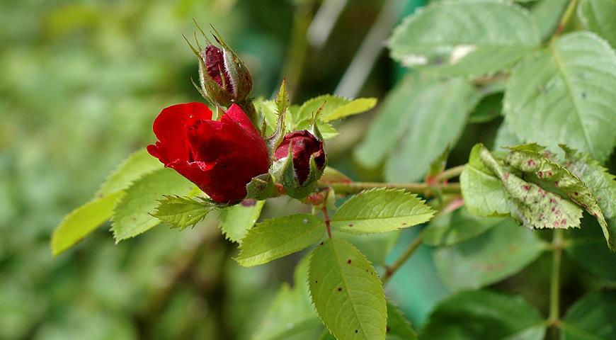 Чим хворіють садові троянди, та як із цим боротися